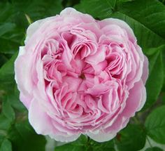 Roses in Gardens: Jacques Cartier