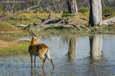 Red Lechwe in the Moremi Game Reserve in Botswana. A typical scene from safari in Botswana. Game Reserve, Beautiful Landscapes, Safari, Africa, Scene, Camping, Red, Photos, Animals