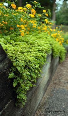 Ground Covers | Creeping Jenny and Lantana |  by TheGreenRoom, via Flickr