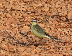 Bird of the Month | BirdLife Australian Yellow Wagtail