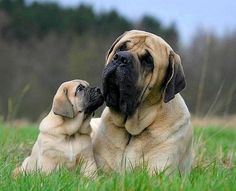 So beautiful! This little Mastiff family is so loving and sweet!
