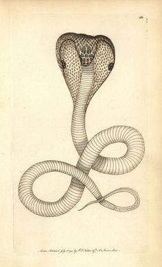 From Untold Lives blog post 'Destruction of #Venomous #Snakes in #India'