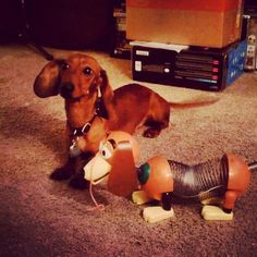 """Dachshund and Slinky doxie toy.  """"I do not like this. Get away...get away"""""""