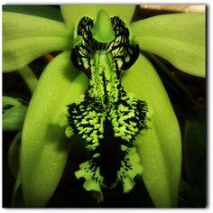 Black Borneo orchid