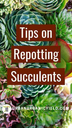 Repotting Succulents, Growing Succulents, Succulents In Containers, Cacti And Succulents, Planting Flowers, Succulent Arrangements, Succulent Gardening, Succulent Care, Succulent Terrarium