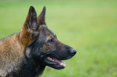 The German Shepherd Dog is renowned for its loyalty and devotion for its family. Having worked as both a sheep tending dog and a police and military guardian, the breed has been serving their owners for hundreds of years. Read more at http://iheartdogs.com/the-12-highest-loyalty-dog-breeds/#GUD1V1zVhcMZe0Zb.99