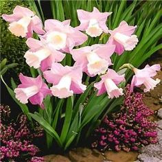 100 pcs/bag Narcissus seeds Aquatic Plants double petals daffodil seeds bonsai flower seeds tazetta chinensis potted plant