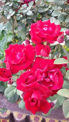 Red blood color of roses in my garden.