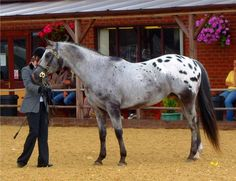 I owned an Apaloosa like this only she was brown and white.