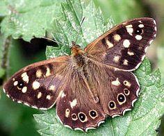 Soorten vlinders in de tuin met foto en beschrijving vlinder planten kiezen / Bont zandoogje