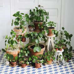 houseplants indoor plants plants decor home decor interior style plant corner pilea peperomioides nordic style scandinavian living vintage style urban jungle pilea family Pilea Peperomiodes, Peperomia Plant, Plantas Indoor, Yucca, Chinese Money Plant, Belle Plante, Decoration Plante, Plants Are Friends, Deco Floral