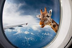 You would be surprised to see a Giraffe when looking out of the aircraft's window.