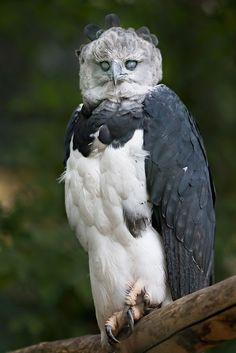 Harpy Eagle by dark Soul 4 .