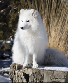Arctic Fox - Alopex lagopus - Located in Northern Canada, Alaska, Greenland, Europe, Northern Asia - There coats are white in the winter, gray-brown in summer.