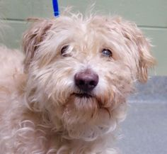 SAFE❤️❤️ 9/19/16 BY NEXT STOP FOREVER❤️ THANK YOU❤️❤️ MICHAEL - A1089732 - - Manhattan Please Share:TO BE DESTROYED 09/19/16 **ON PUBLIC LIST** Looks like the ACC is in a big rush to move dogs in and out these days. Here you have Michael an adorable 4 year old Lhasa mix who was found as a stray very recently (9/14) and already has a place on tomorrow's list. Michael is understandably scared, a bit rough around the edges and needs a full medical exam for sure but without knowing the extent of…