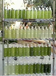 Make An Algae Bioreactor from Recycled Water Bottles. Use it to make biodiesel. #biofuel #biodiesel