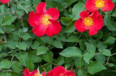 Easy Elegance 'Screaming Neon Red™' shrub  Rose