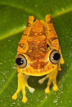 Hypsiboas picturatus   Imbabura tree frog