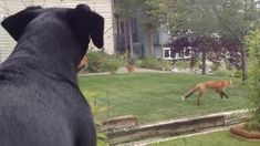 Fox Grabs Dog's Toy, Plays Catch With Self