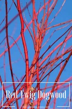 The Red Twig Dogwood fire red color makes you look forward to winter!