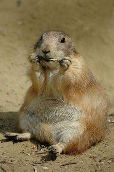 Prairie dog...chubby and cute