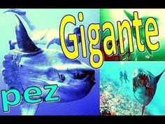 Pez Mas Grande del Mundo, pez luna o Mola Mola