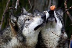 wolves checking out autumn leaves in the deep of winter.