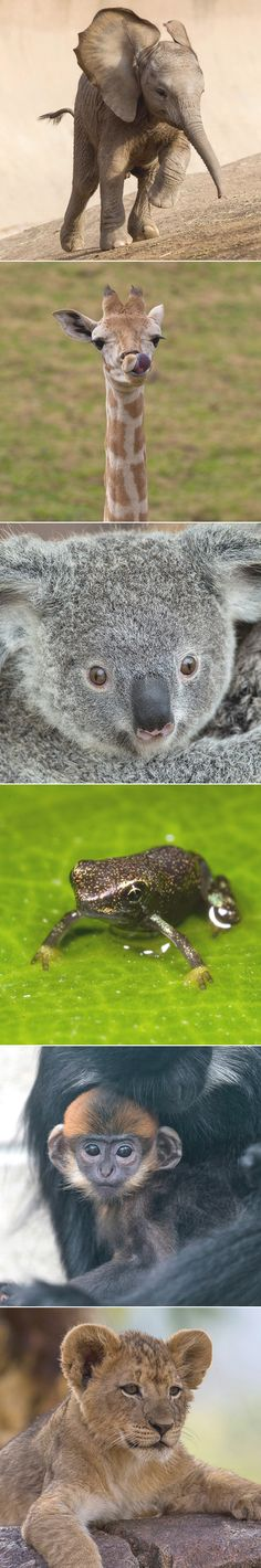 Which Baby Animal Are You? QUIZ Panamanian Golden Tadpole for me. Super Cute Animals, Like Animals, Adorable Animals, Baby Animals, Baby Deer, Wild Hearts, Wild Life, Beautiful Creatures, Elephants