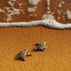 Young hawksbills turtles race to the sea. Shot taken in Pantai Pengkalan Balak turtle sanctuary, Melaka, Malaysia by Yaman Ibrahim.