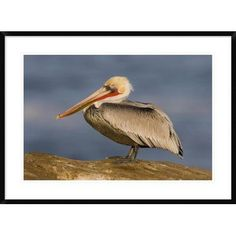 "Global Gallery 'Brown Pelican Adult' Framed Photographic Print Size: 26"" H x 36"" W x 1.5"" D"