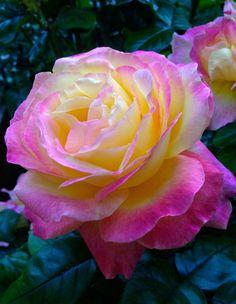 #rose #flower #Blüte