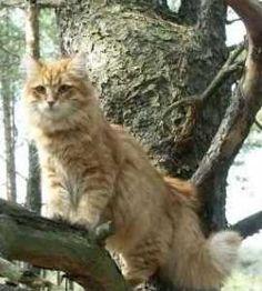 love siberian cats