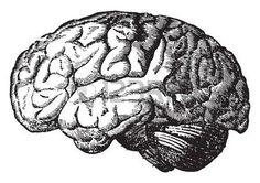brain art: The brain, vintage engraved illustration.