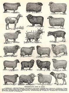 varieties of sheep, are you one, sure hope you have a good shepherd, but I doubt it