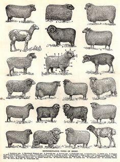 Varieties of sheep