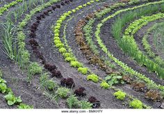 Rows of Salad vegetables, Eden Project, Cornwall, UK, May - Stock Image