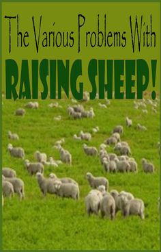 The Various Problems With Raising Sheep   Livestock Farming For Beginners