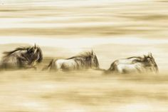 The Wildebeest Hustle Photo by James Manning -- National Geographic Your Shot
