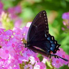 Butterfly & Hydrangea