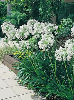 Agapanthus orientalis White-for great flowering plant into a pot before putting into border to restrict roots