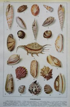 Shells -- Original Antique Color Illustration Lithograph Print Shells Marine Beach Sea Vintage