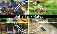 It's a myth that there are no betta fish tank mates or companions that can coexist with male or female betta fish. There are actually many other species of fish that can live with a betta in what is appropriately called a community tank. While males cannot share the same ecosystem because of their territorial …