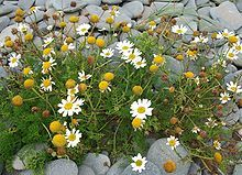 Tripleurospermum maritimum--(syn. Matricaria maritima) is a species of flowering plant in the aster family commonly known as false mayweed or sea mayweed. It is found in many coastal areas of Northern Europe, including Scandinavia & Iceland, often growing in sand or amongst beach pebbles.
