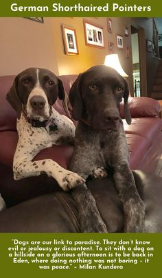 Omg Precious German Shorthaired Pointer Baby By Patric 233