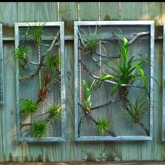 Thinking of arranging my air plants (tillandsia) outside of a terrarium. Maybe I can do something similar with a drift wood frame and chicken wire. Wall art?