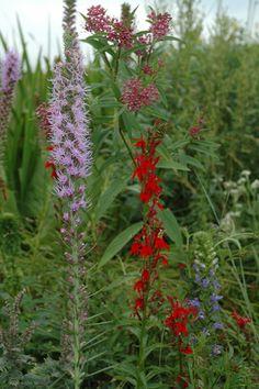 Cardinal-flower-Prairie-Blazing-Star-Great-Blue-Lobelia-and-Swamp-Milkweed