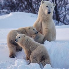 Photograph by @paulnicklen // Propping herself into position, a mother polar bear assesses her surroundings before nursing her nine-month-…