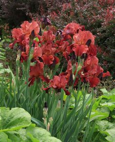 'Samurai Warrior' irises in front of Red Barberry