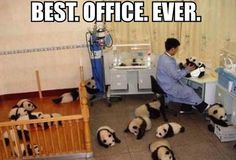 I would be a much happier person if I had a squadron of baby pandas surrounding me like this.