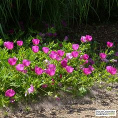 Red and White Callirhoe involucrata, Callirhoe involucrata, Poppy Mallow, Winecups - perennial that blooms all summer